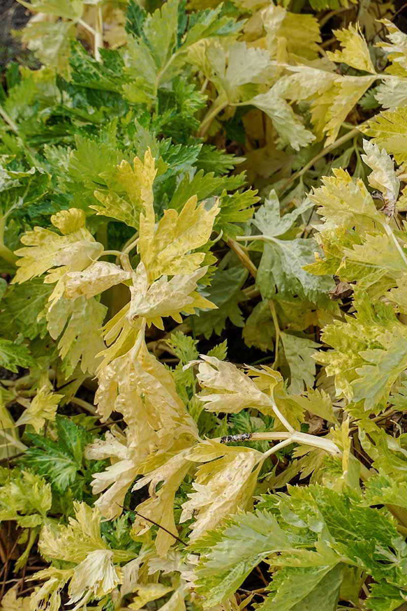 A close up vertical image of the leaves of Apium graveolens 'Golden Self Blanching' growing in the garden.