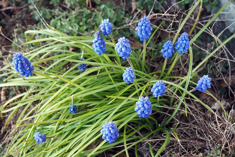A close up horizontal image of blue grape hyacinth flowers growing in the garden, with foliage in soft focus in the background.