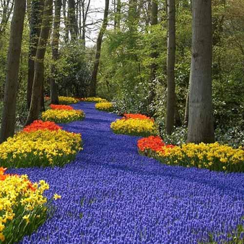 A square image of a woodland planted with a swath of spring-flowering grape hyacinths, flanked with yellow and orange flowers.