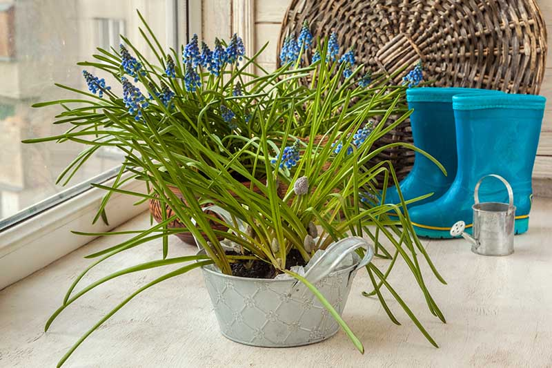 A horizontal image of a metal container with spring grape hyacinth flowers blooming amongst the upright foliage. In the background is a pair of blue gardening boots and a wicker basket.