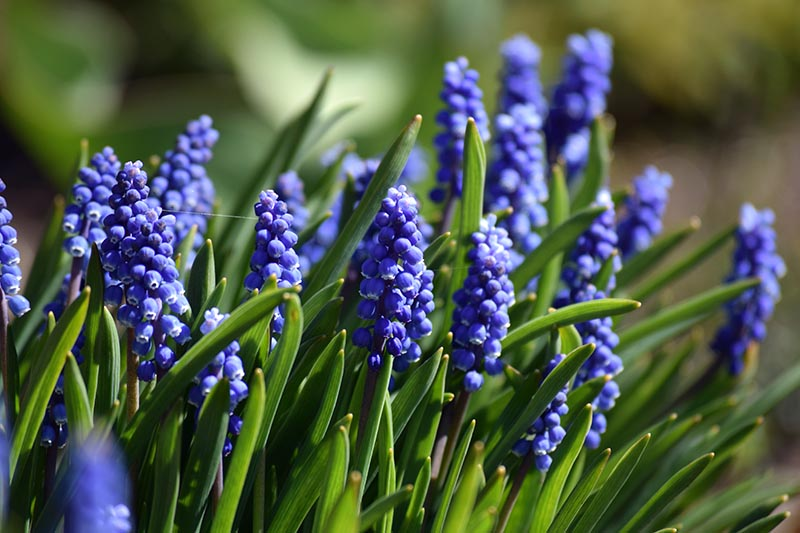 A close up horizontal image of bright blue grape hyacinth flower blooming in the spring garden, pictured in bright sunshine on a soft focus background.