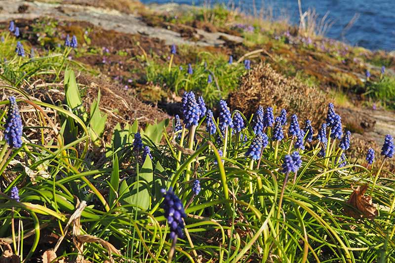 A horizontal image of a rocky slope going down to the ocean planted with flowering grape hyacinth among the shrubby grasses.