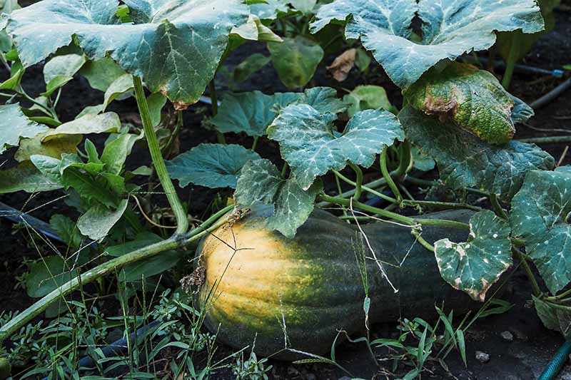 A close up horizontal image of a large green gourd ripening on the plant, surrounded by foliage and set on the ground.