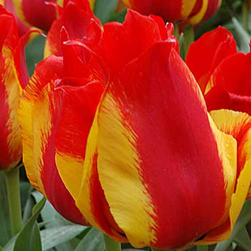A close up square image of bright red and yellow 'Kiev' tulips growing in the garden pictured on a soft focus background.