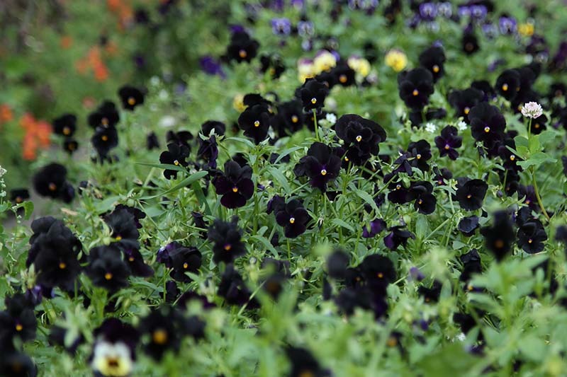 A close up horizontal image of black 'Halloween' pansies growing in the garden.