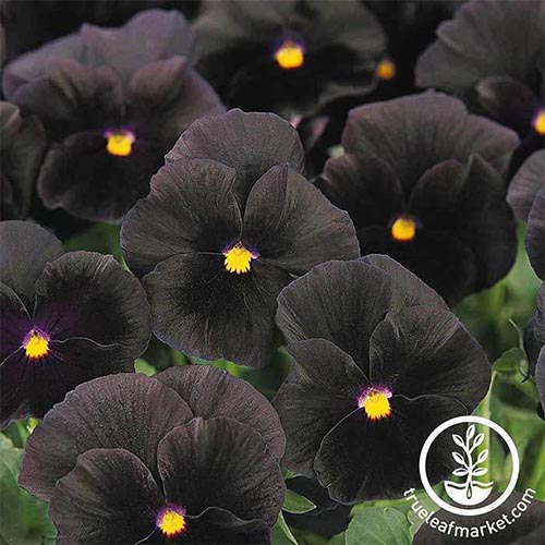 A close up square image of black and yellow 'Halloween' pansies growing in the garden. To the bottom right of the frame is a white circular logo with text.