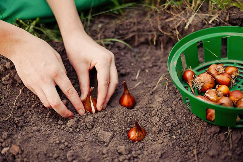 A close up horizontal image of two hands from the left of the frame planting spring-flowering bulbs in the garden in autumn. To the right of the frame is a green plastic bowl.