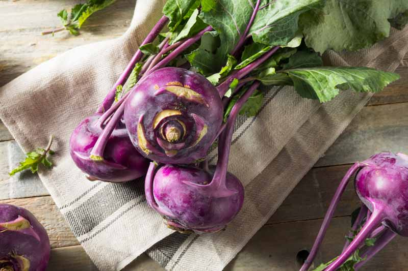 A close up horizontal image of purple Brassica oleracea Gongylodes Group with green leaves still attached set on a fabric on a wooden surface.