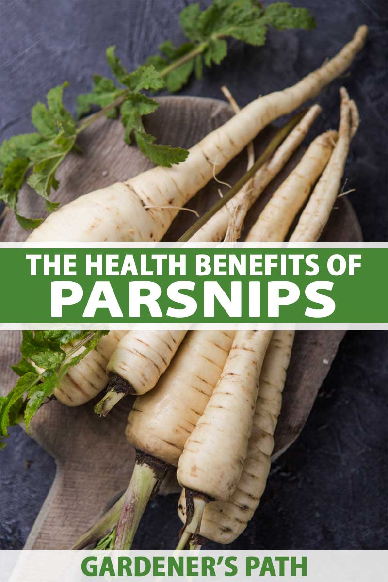 A close up vertical image of freshly harvested and cleaned parsnips with the tops cut off set on a wooden chopping board on a dark gray surface. To the center and bottom of the frame is green and white text.