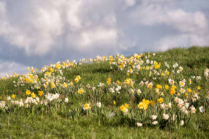 A horizontal image of a hillside field of daffodils growing in the grass with a cloudy sky in the background.