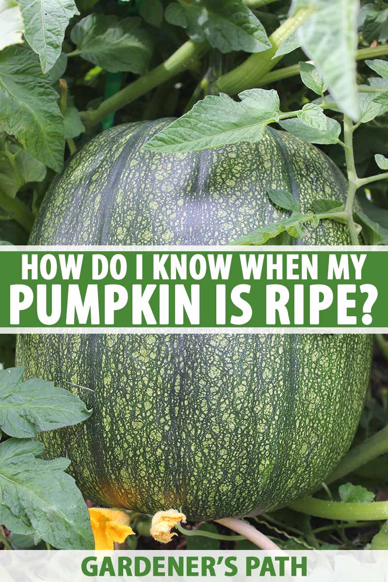 A close up vertical image of a large green pumpkin growing on the vine surrounded by foliage. To the center and bottom of the frame is green and white printed text.