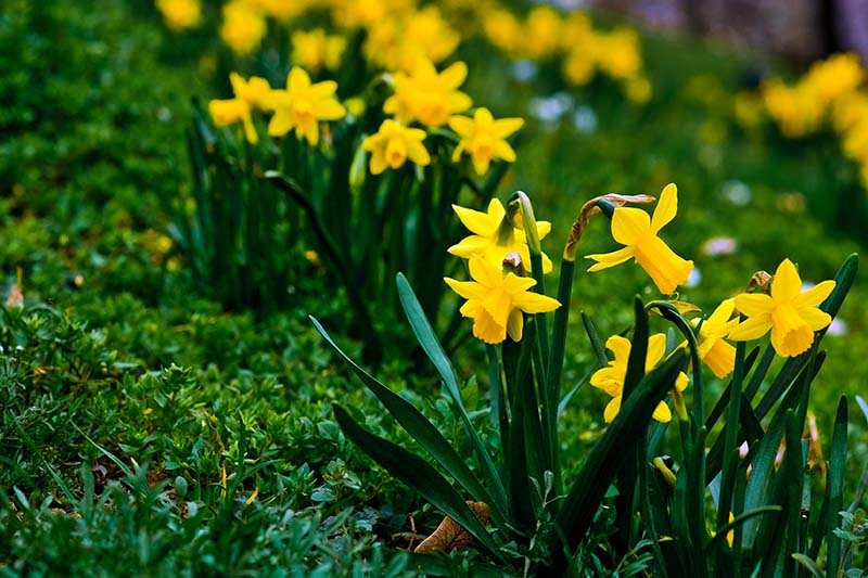 A close up horizontal image of bright yellow daffodils growing in a lawn, blooming in the springtime.