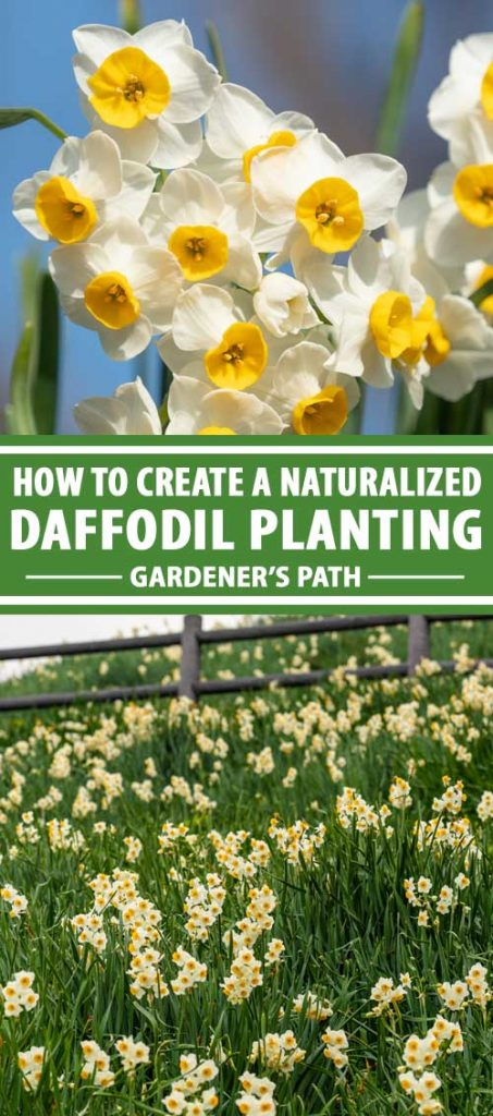 A collage of images showing different natural looking daffodil plantings.