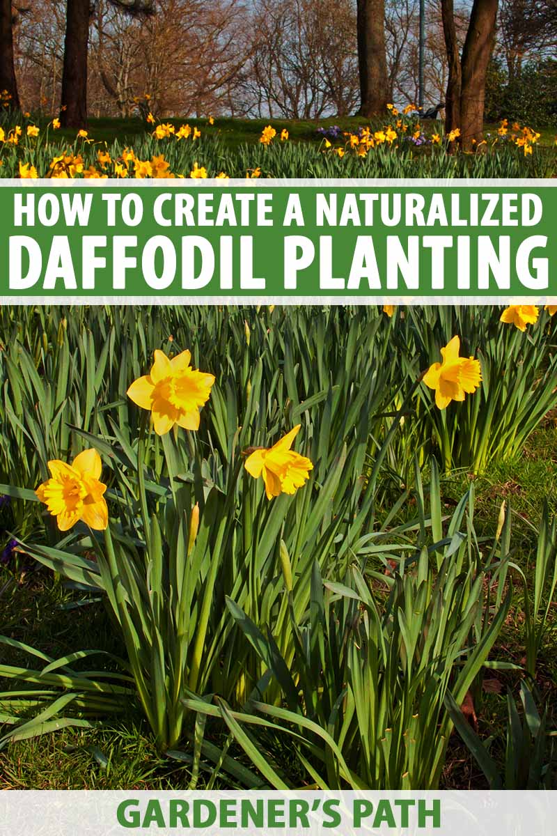 How To Create A Naturalized Daffodil Planting Gardener S Path