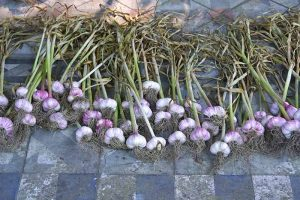 How to Cure and Store Garlic from the Garden