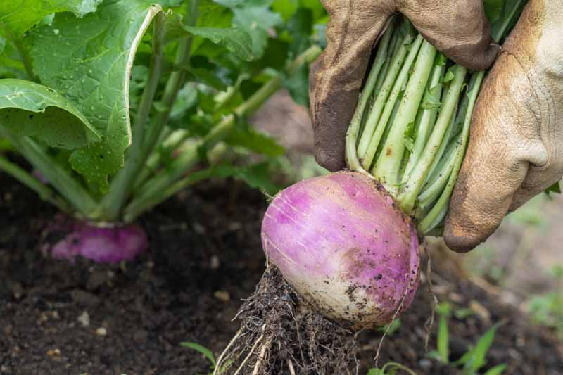 A close up horizontal image of gloved hands pulling a fresh turnip root out of the ground. In the background are other mature plants pictured in soft focus.