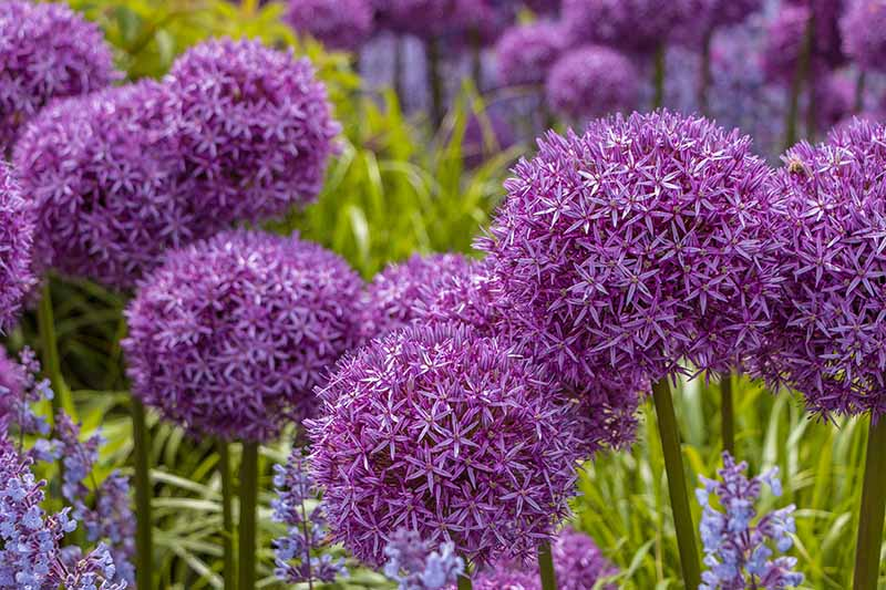 A close up horizontal image of purple flowering alliums growing in the garden pictured on a soft focus background.