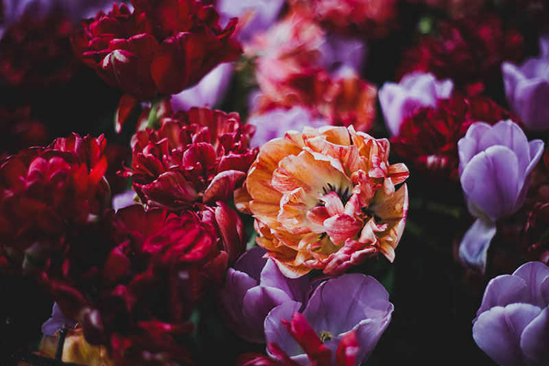 A close up horizontal image of red, purple, and orange double hybrid peony tulips growing in the garden, pictured on a soft focus background.