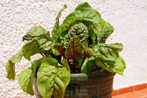 How to Grow Swiss Chard in Containers