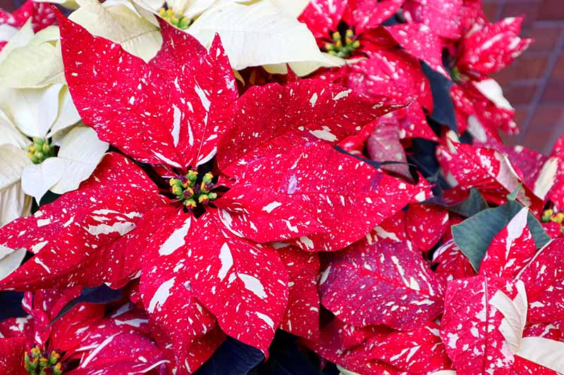 A close up horizontal image of a colorful poinsettia with red and white variegated bracts and tiny flowers in the center, with white specimens in the background in soft focus.