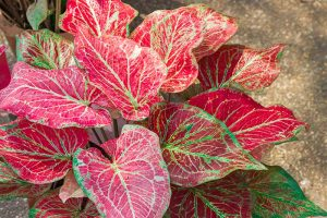 How to Lift Caladiums for Winter Storage