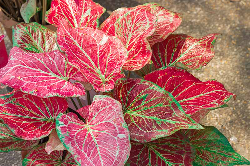 A close up horizontal image of the red and white foliage of a caladium plant growing in a pot, pictured in light sunshine on a soft focus background.