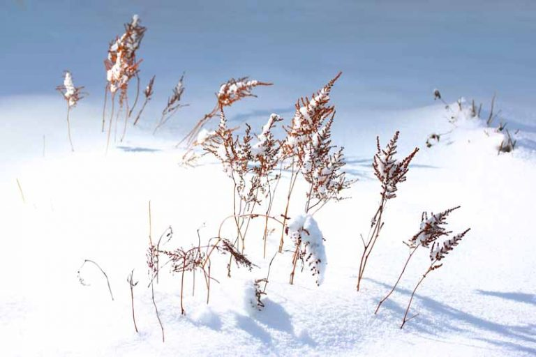 A close up horizontal image of astilbe flower stalks after blooming covered in snow, pictured in bright sunshine.