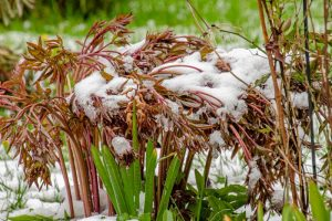 How to Care for Peony Plants in Winter