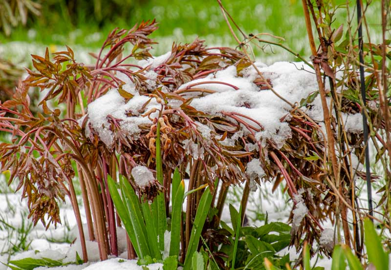 A close up horizontal image of a perennial peony plant with reddish-brown stems and foliage pictured with a light dusting of snow on the ground and on the plant, on a soft focus background.