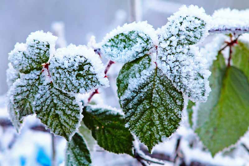 A close up horizontal image of the foliage of a boysenberry plant covered in frost and snow, pictured in light sunshine on a soft focus background.