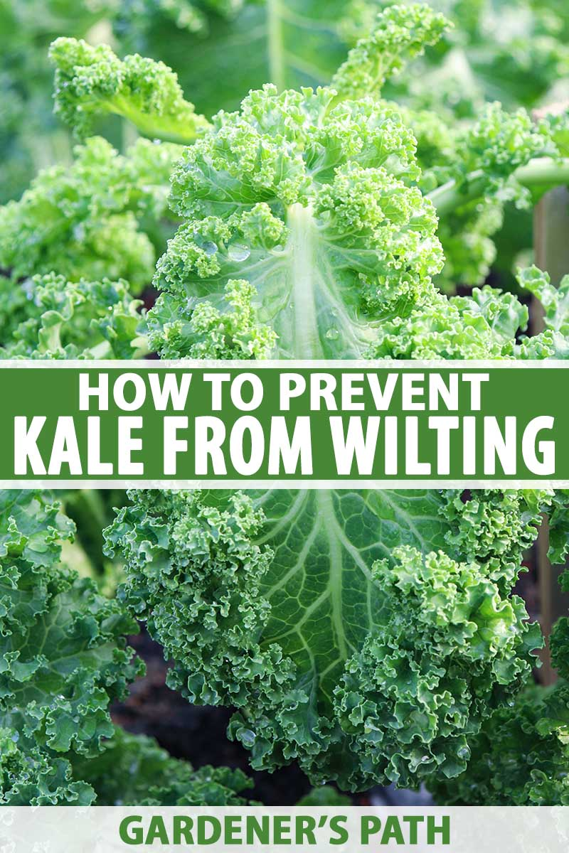 A vertical close up picture of a kale plant growing in the garden that has started to wilt. To the center and bottom of the frame is green and white printed text.