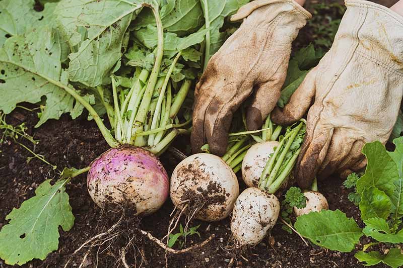 A close up horizontal image of two hands from the top of the frame wearing gloves, harvesting mature turnips from the ground.
