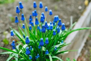 How to Propagate Grape Hyacinth Bulbs and Seeds