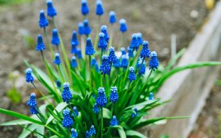 A close up horizontal image of a small grape hyacinth plant with several bright blue flowers in a wooden raised garden bed.