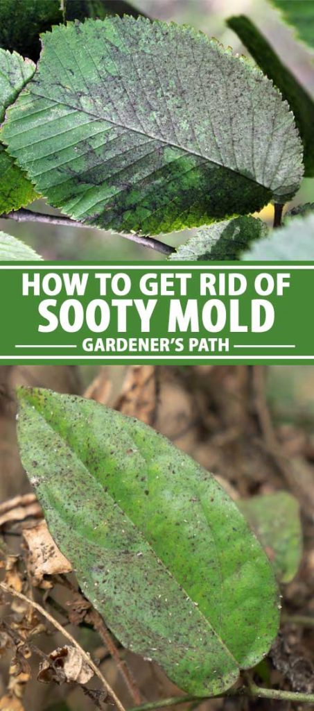 A collage of photos showing sooty mold attacking plants.
