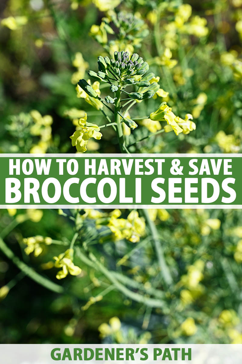 A vertical close up image of a broccoli plant that has bolted and produced small yellow flowers, pictured in bright sunshine on a soft focus background. To the center and bottom of the frame is green and white printed text.