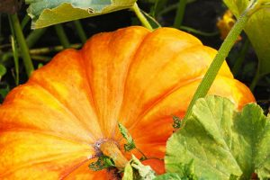 How Do I Know When My Pumpkin Is Ripe? Picking and Harvest Tips