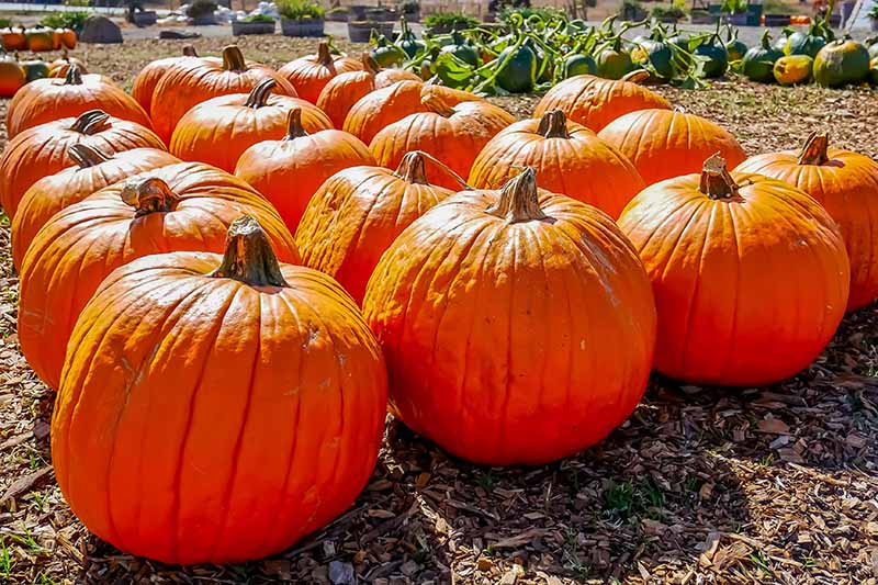 A close up horizontal image of large orange pumpkins set on a mulched surface pictured in bright sunshine.