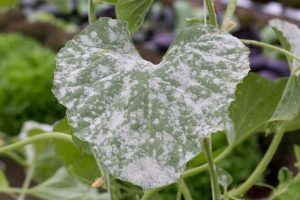 How to Treat Powdery Mildew Using Homemade and Organic Remedies