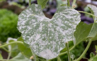 A close up horizontal image of a cucurbit leaf suffering from an infection of powdery mildew, a fungal infection that can be treated with a homemade or organic remedy.