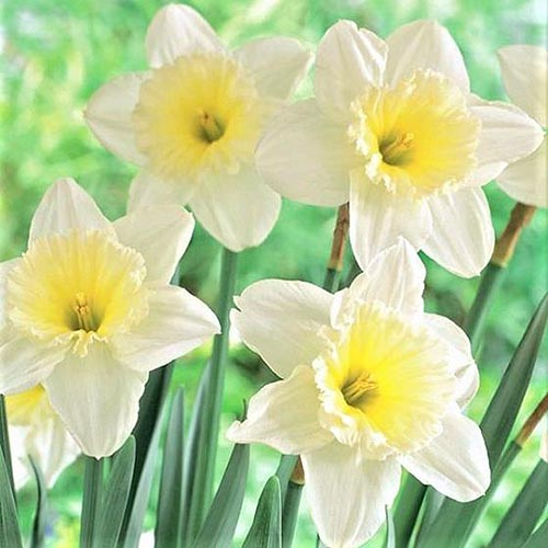 A close up square image of yellow and white 'Ice Follies' daffodils growing in the garden on a green soft focus background.