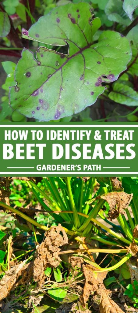 A collage of photos showing beets with different kinds of diseases.