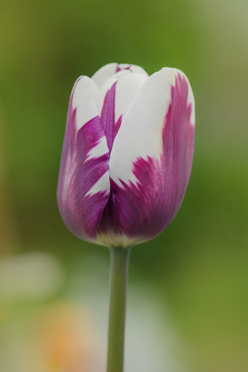 A vertical image of a single 'Insulinde' tulip, a member of the Rembrandt division with deep pink and white petals, pictured on a green soft focus background.