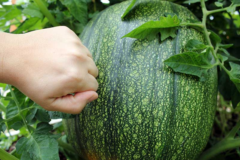 A close up horizontal image of a hand from the left of the frame making a fist and knocking on the rind of a green pumpkin to check for ripeness.