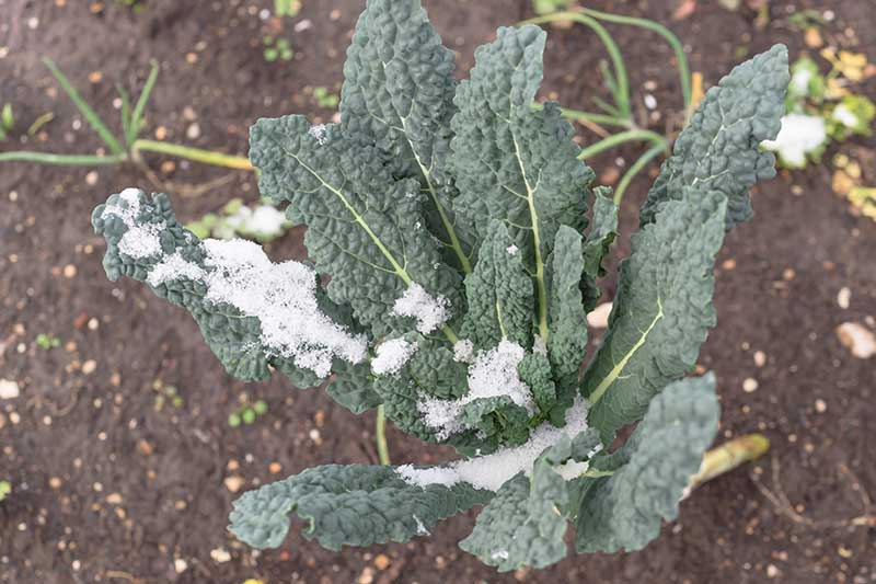 A close up horizontal image of Tuscan kale growing in the garden covered with a little frost.