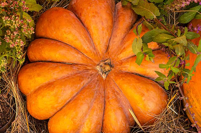 A close up horizontal image of a large, orange pumpkin with deep ribs set in the garden on dry straw, surrounded by foliage.