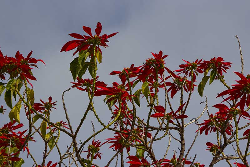 A horizontal image of poinsettia plants with colorful red bracts and green foliage growing wild pictured on a gray background.