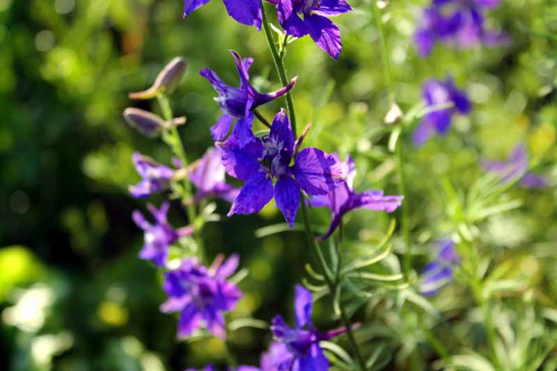 A close up horizontal image of the purple flowers of annual larkspur growing in the garden, pictured in light filtered sunshine on a soft focus background.