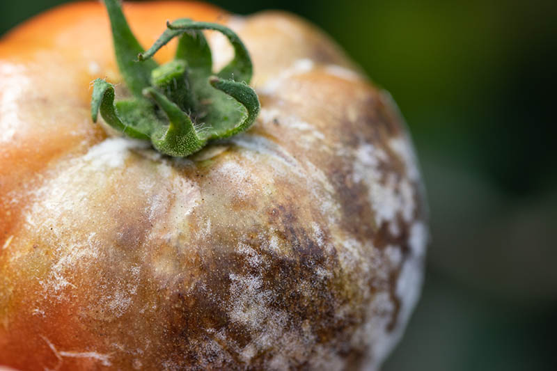 A close up of a ripe tomato suffering from a deadly infection called late blight that can also infect potatoes, pictured on a soft focus background.