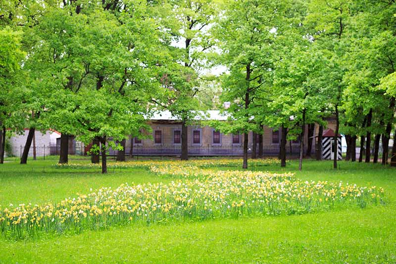 A horizontal image of a building with trees in the foreground and a large swath of naturalized daffodils growing in the grass.